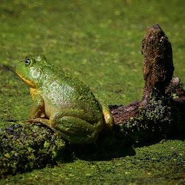 It's not easy being green by Brian Homitz - Animals Amphibians ( frog, amphibian, lake, fishing, ribbit, amphibians, green frog,  )