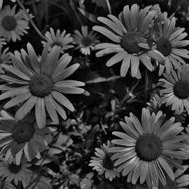 Black & White Daisies Of The Patuxent Research Refuge 2016  by Matthew Beziat - Black & White Flowers & Plants ( black & white photography, national wildlife refuge, black & white, anne arundel county, daisies, maryland, black & white flowers, patuxent research refuge,  )