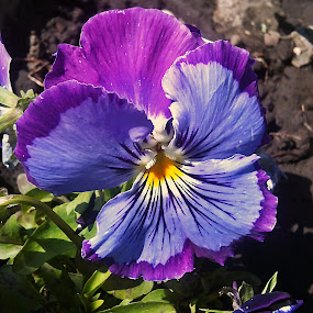 Flower by Dobrin Anca - Flowers Single Flower ( prayer, water drops, monastery, romania, flower,  )