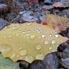 After the rain by Janet Herman - Nature Up Close Leaves & Grasses ( water, nature up close, raindrops, leaf, leaves, rain )