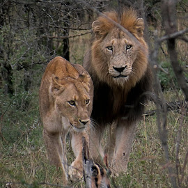 King and Queen by Lynette van Rensburg - Animals Lions, Tigers & Big Cats