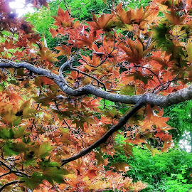 Japanese Maple  by Arie Shively - Nature Up Close Trees & Bushes