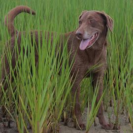 Dog in Marsh garss by Eric  Adamski - Uncategorized All Uncategorized ( laboradore, green, grass, chocolate lab, lab, brown, dog, mud, marsh, dog portrait,  )