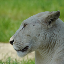 White lioness by Sharon Bennett - Animals Lions, Tigers & Big Cats ( big cat, lion, cat, nature, lioness, whiskers, white, wildlife, lions )