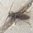 Longhorn beetle.