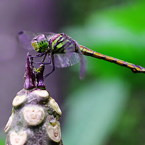Twilight Dragonfly by Musashi Vai - Novices Only Macro