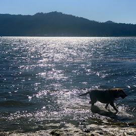 Big Bear Lake by Diane Garcia - Animals - Dogs Playing ( blue, water, lake, dog,  )