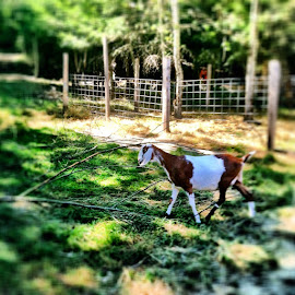 Beautiful goat by Grace Grantham - Animals Other ( farm life, neubian goats )