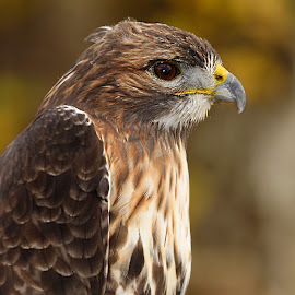 Very old common buzzard by Gérard CHATENET - Animals Birds