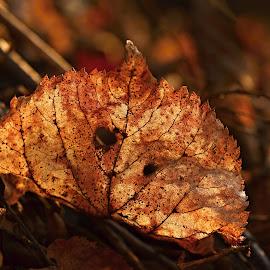 Vějíř z listu by Maru Vykydalová - Nature Up Close Leaves & Grasses ( sunset )