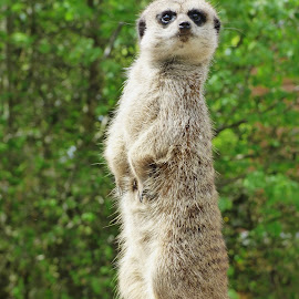 Look out by Heather Clark - Animals Other Mammals ( lookout, meerkat, standing )