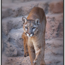by Elaine Malott - Animals Lions, Tigers & Big Cats ( cats, catamounts )