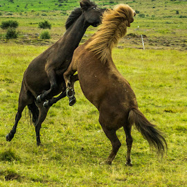 Play time by Ríkarður Óskarsson - Animals Horses
