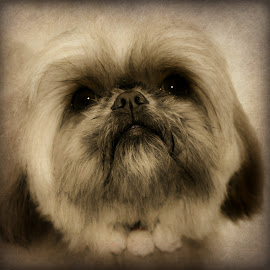 look at me by Susan Davies - Animals - Dogs Portraits ( love, pose, male, shih tzu, dog, pretty, adoring,  )