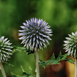 Blue thistle by Margie Troyer - Nature Up Close Other plants