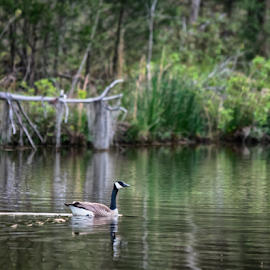 Canada goose swimming across a pond by Jackie Nix - Landscapes Waterscapes ( pond, forest, canada goose, beauty, reflections, fauna, lone, vertical, trees, peaceful, ripples, alone, reeds, bird, tones, quiet, lines, lonely, deadfall, wildlife, waves, earth tones, green, nature, one, cool, shore, water, environment, background, animal, tranquility, aquatic, diagonal, lake, swim )