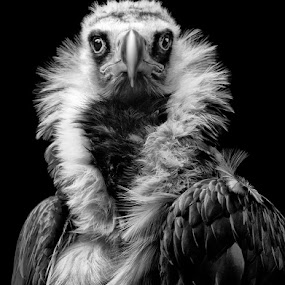 His Eminence by Henrik Spranz - Animals Birds ( bird, look, vulture, black vulture, portrait, eyes )