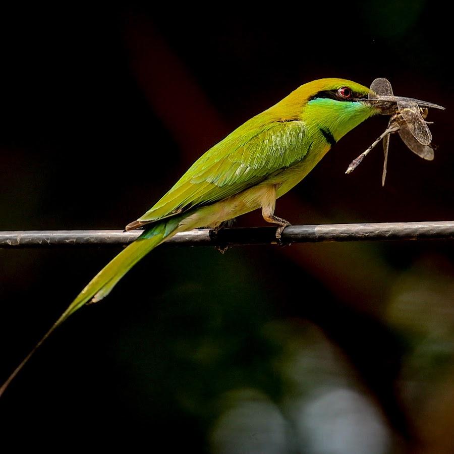 Bee-Eater  by Krishna Murukutla - Animals Birds ( birdds, wildlife, portraits, bee-eater, closeup,  )