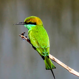 Green Bee Eater by Jaysinh Parmar - Animals Birds