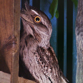 Frogmouth Owl by Sarah Harding - Novices Only Wildlife ( bird, nature, outdoors, novices only, wildlife )