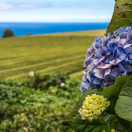 Hortênsia by Paulo Fernandes - Nature Up Close Gardens & Produce ( tea field, hydrangea, azores, sea,  )