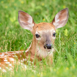 Adorable Fawn in Poughkeepsie, NY by Debbie Quick - Animals Other Mammals ( deer, white spots, debbie quick, young, white-tailed deer, nature lovers, natures best shots, debs creative images, cute, spotted animal, animal photography, nature photography, poughkeepsie, wildlife, precious, nature, new york, national geographic, wildlife photography, baby, animal, fawn, wild, hudson valley, adorable,  )