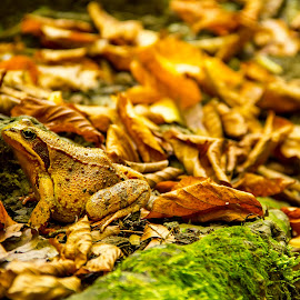 brown toad by Grigor  Ivanov - Animals Amphibians ( nature, common toad, frog, bufo, autumn, amphibian, toad, brown, european toad, wart, leaf, animal )