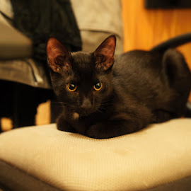 Black stillness by Roxana Zlampareț - Animals - Cats Portraits ( cat, standing still, black )