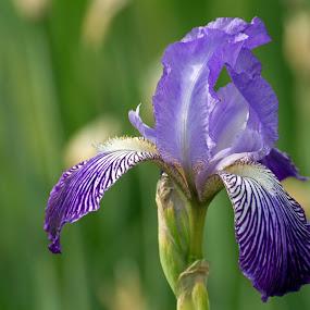 Purple Iris by Judy Florio - Uncategorized All Uncategorized ( macro, purple, iris, spring, flower )