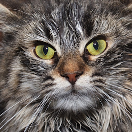 Mad Kitty by Michael Cowan - Animals - Cats Portraits ( cat, shelter, adopt,  )
