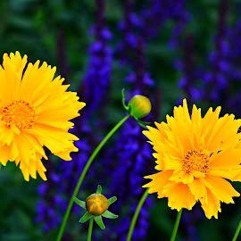 Purple and yellow by Ruth Overmyer - Flowers Flower Gardens (  )