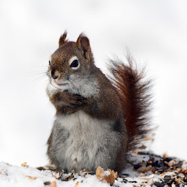 I ate all the nuts by Isabelle VM - Animals Other Mammals ( snow, redsquirrel, animal )