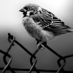 Black and white Eurasian tree sparrow Feb 3.jpg