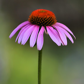 Conehead by Jen Millard - Nature Up Close Flowers - 2011-2013 ( plant, detail, nature, flora, colorful, pink, floral, flower )