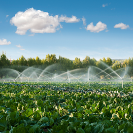 Irrigation systems in a vegetable garden by Deyan Georgiev - Nature Up Close Water ( moisture, drop, leaf, crop, farmer, nature, industry, biology, grass, irrigating, agriculture, health, system, sprinkler, food, outdoors, vegetable, natural, plant, land, landscape, spring, irrigation, farm, refreshing, irrigate, fresh, supply, wet, water, spray, green, vegetables, agricultural, farming, starch, field, organic, industrial, sprinkling, outdoor, grow, summer, gardening, healthy, garden, produce, growth, mist )