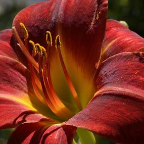 tiger lily by Moe Cusick - Flowers Single Flower ( orange, macro, nikon, tiger lily, flower,  )