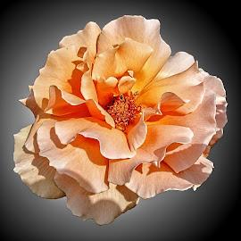 HI rose 66 by Michael Moore - Flowers Single Flower