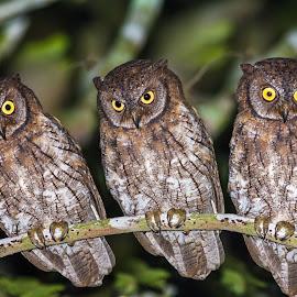Rinjani Scops Owl by Andi Albayquni - Animals Birds
