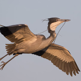 Heron flying with stick by Francois Retief - Animals Birds