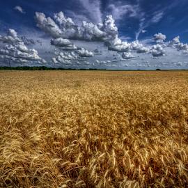 Amber Waves Of Grain by Kent Moody - Landscapes Prairies, Meadows & Fields ( field, rural, farming, farm, wheat, grain )