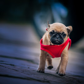 Pug puppy by Malcolm Hare - Animals - Dogs Running