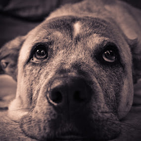 by Pope  Africanas - Animals - Dogs Portraits (  )