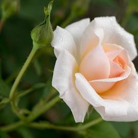 by Cary Chu - Flowers Single Flower