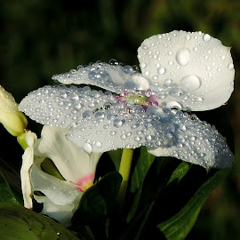 by Mohamed Habib - Flowers Flower Gardens