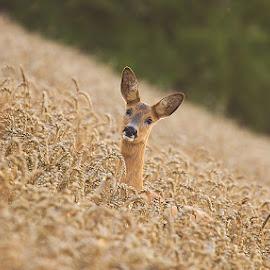 Roe deer by Allan Wallberg - Animals Other Mammals ( animal, deer )