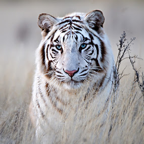 Tiger in White by Bridgena Barnard - Animals Lions, Tigers & Big Cats ( animals, tiger, blue, barnard, stare, white, images, eyes, bridgena,  )