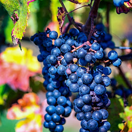 Grape Harvest by Robert Petrocelli - Food & Drink Fruits & Vegetables ( grapes, wine grapes )