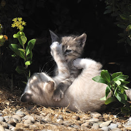 Boxing... by Lorraine Bettex - Animals - Cats Playing