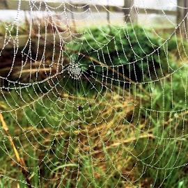 Morning Dew by Darrell Evans - Nature Up Close Webs ( macro, cobweb, plants, spider, web, spring, closeup )