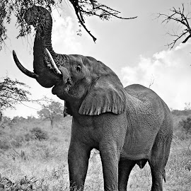 Picking.............. by Pieter J de Villiers - Black & White Animals ( elephants, mammals, picking, animals, kruger national park, elephant bull, south africa, black & white, africa )